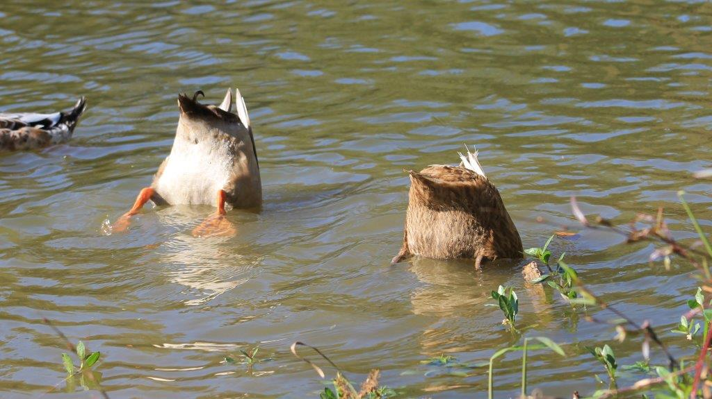 Photo of two ducks diving under water on Lake Cherrywood