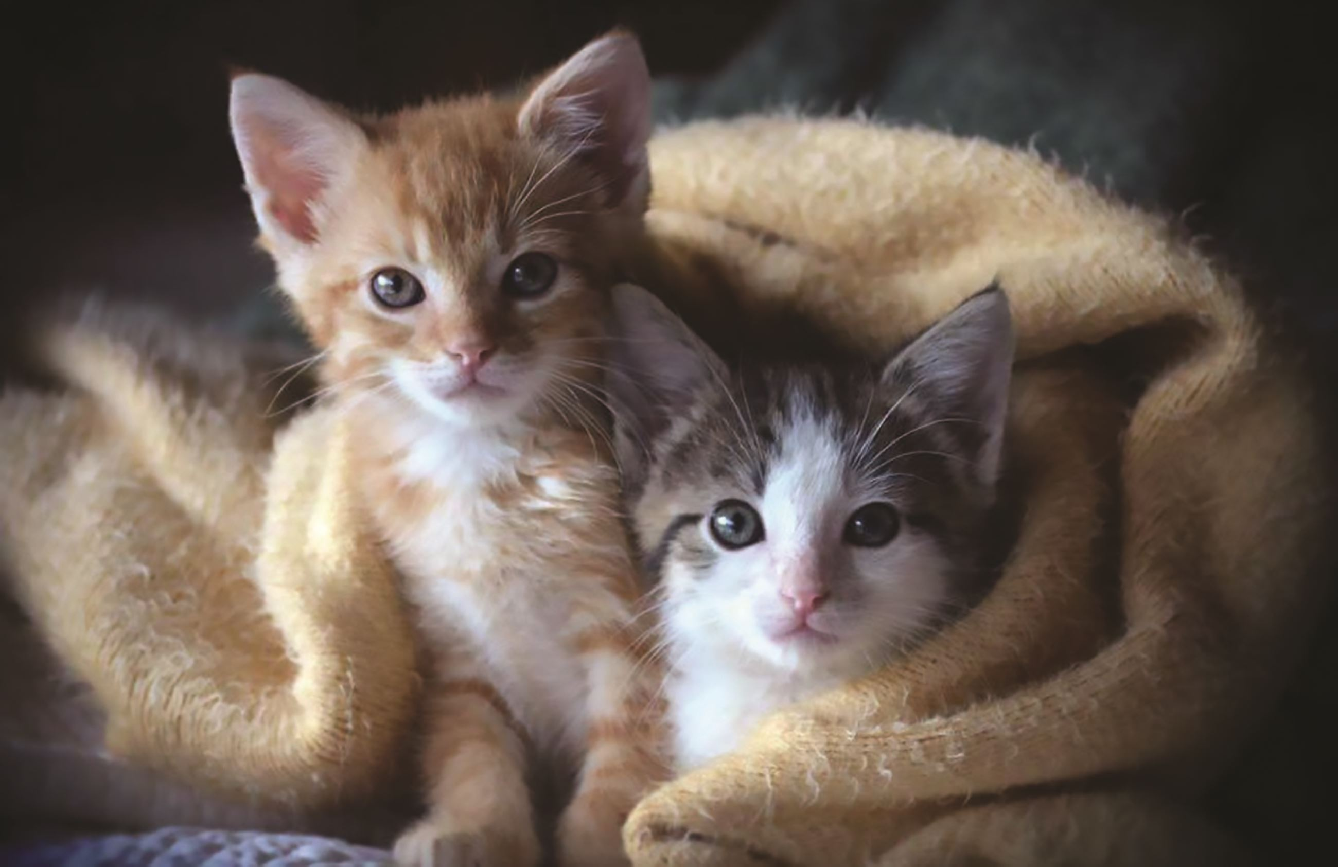 Image of two kittens wrapped in blanket